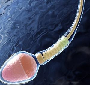 Сперма деген не